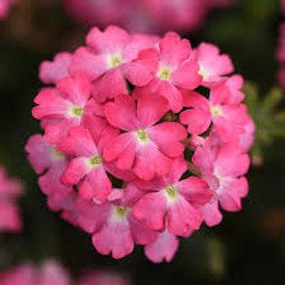 Verbena, Firehouse Pink