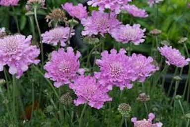 Scabiosa, Flutter Rose Pink Pincushion Flower