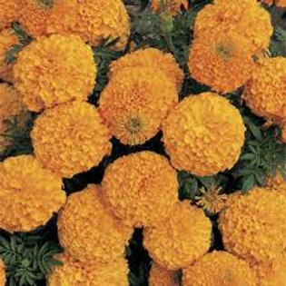Marigold, Inca II Orange (BOX)