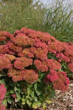 Sedum, Autumn Fire Showy Stonecrop
