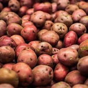 Potato, Red Chieftan (seed)