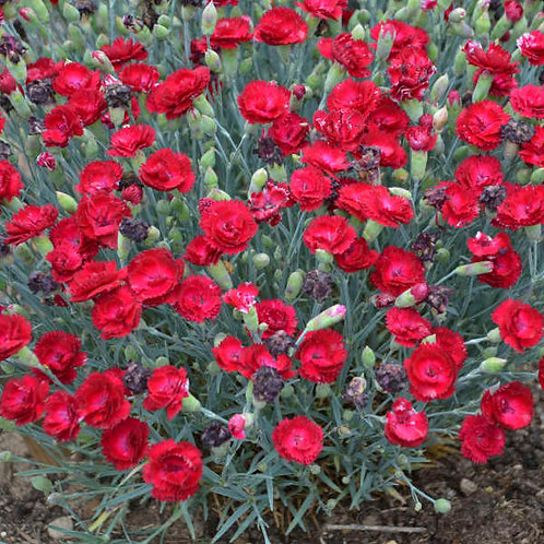 Dianthus, Pretty Poppers Electric Red Pinks