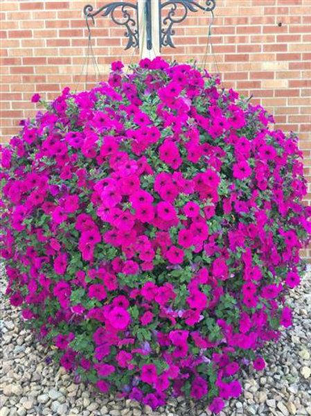 Petunia, Purple Wave