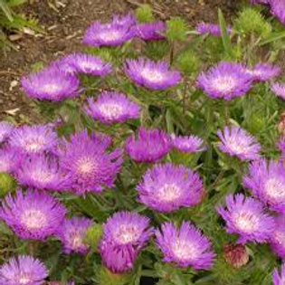 Stokesia, Honeysong Purple Stokes' Aster