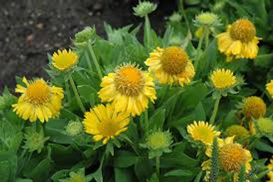 Gailardia, Mesa Yellow Blanket Flower