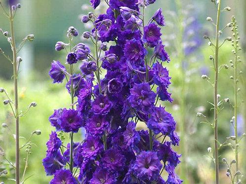 Delphinium, New Millenium Purple