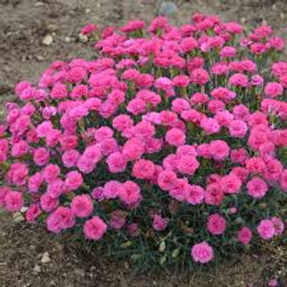 Dianthus, Pretty Poppers Double Bubble Pinks