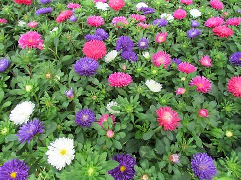 Aster, Pot N Patio Mix (FLAT)