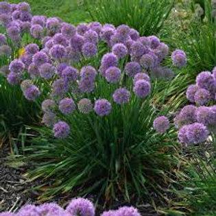 Allium, Serendipity Flowering Onion