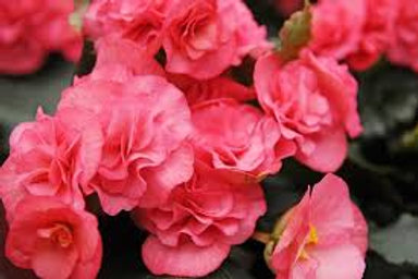 Begonia, Non-Stop Pink