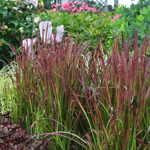 Imperata, Red Baron Japanese Blood Grass