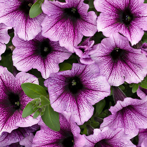 Petunia, Supertunia Bordeaux