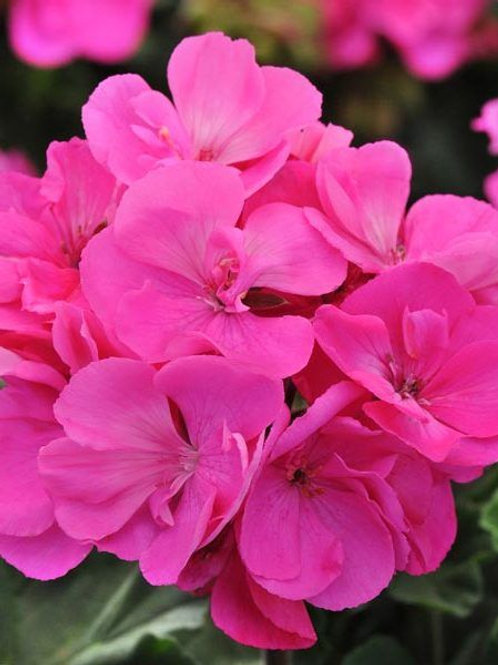 Geranium, Fantasia Shocking Pink