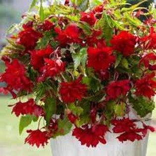 Begonia, Illumination Scarlet