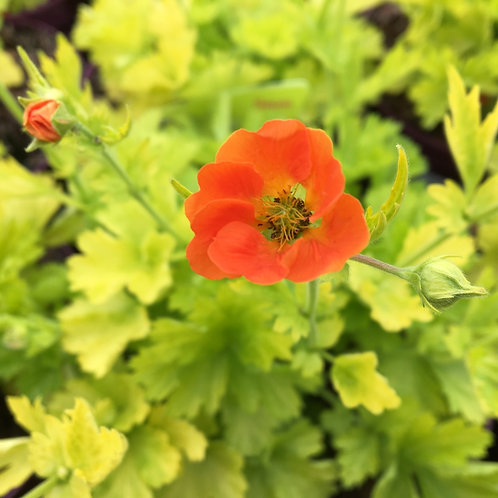 Geum, Sunkissed Lime Green