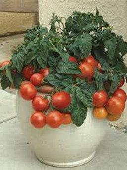 Tomato, Patio Hybrid