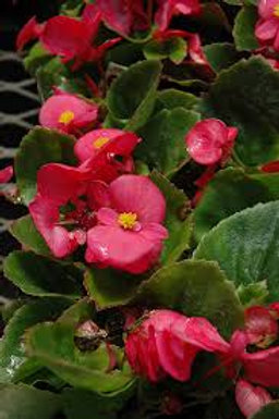 Begonia, Super Olympia Rose (FLAT)