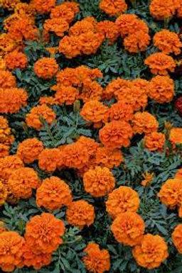 Marigold, Superhero Deep Orange (FLAT)
