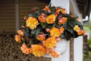 Begonia, Illumination Golden Picotee