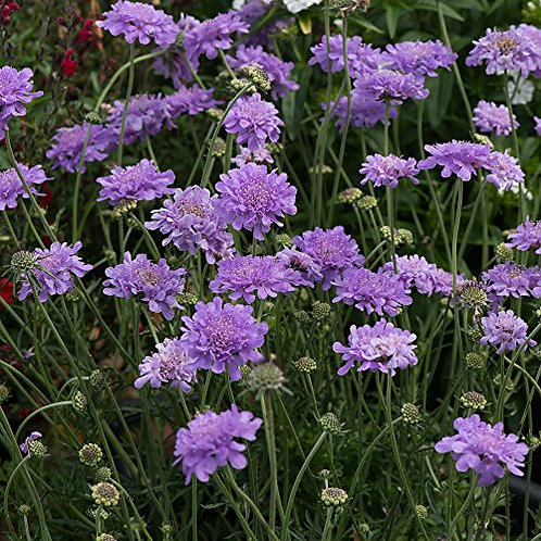Scabiosa, Flutter Deep Blue Pincushion Flower