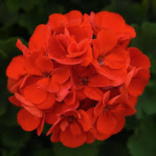 Geranium, Sunrise Bright Scarlet