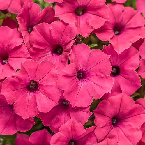 Petunia, Supertunia Vista Fuchsia