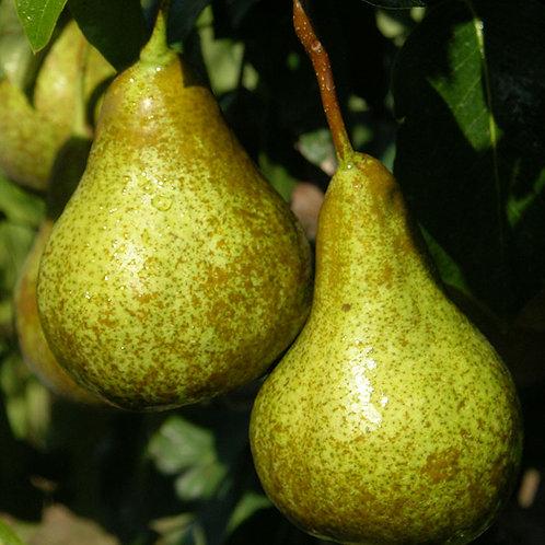 Pear, Bosc (semi-dwarf)