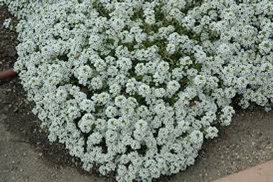 Alyssum, Clear Crystals White (FLAT)