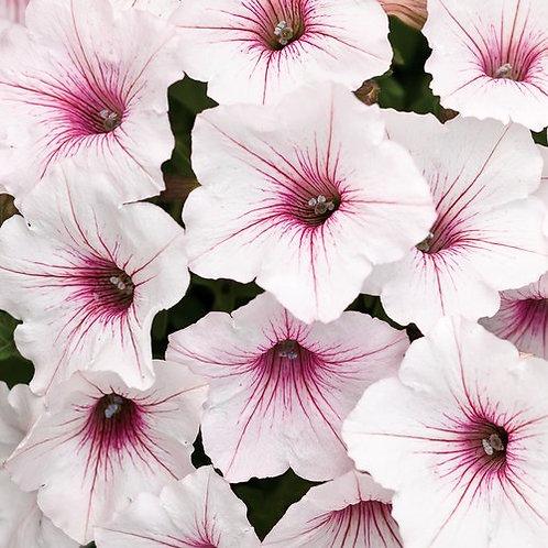 Petunia, Supertunia Vista Silverberry