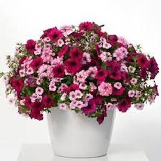Mixed Hanging Basket, Cherry Kiss