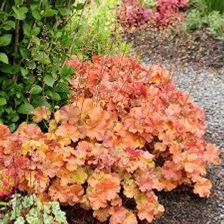 Heuchera, Northern Exposure Amber Coral Bells