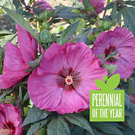 Summerific Berry Awesome Hibiscus.jpg