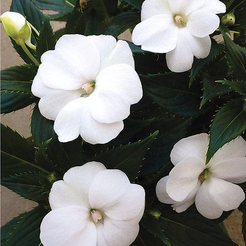 Sunpatiens, Compact White