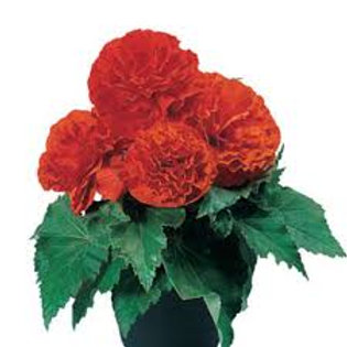 Begonia, Non-Stop Orange