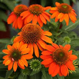Echinacea, Sombrero Adobe Orange Coneflower