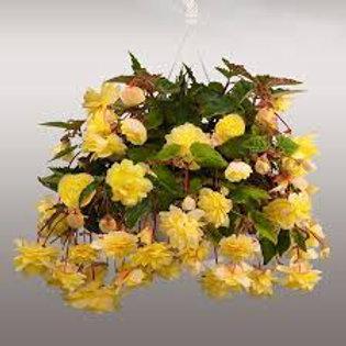 Begonia, Illumination Lemon