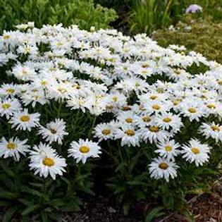 Leucanthemum, Whoops A Daisy Shasta Daisy