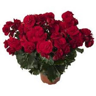 Begonia, Solenia Velvet Red