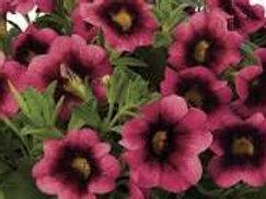 Calibrachoa, Lindura Loops Hot Pink
