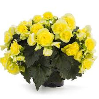 Begonia, Solenia Yellow