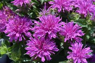 Monarda, Balmy Lilac Bee Balm