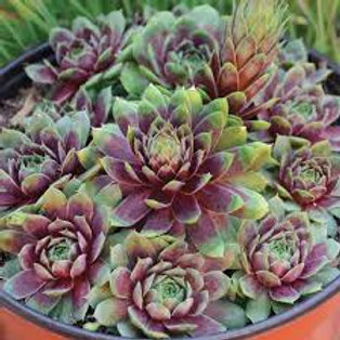 Sempervivum, Ruby Heart Hens & Chicks