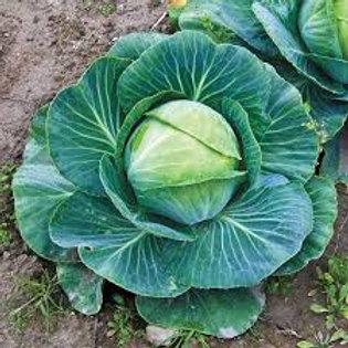 Cabbage, Fast Vantage