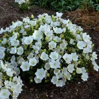 Campanula, Rapido White Bellflower