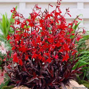 Lobelia,Queen Victoria Cardinal Flower