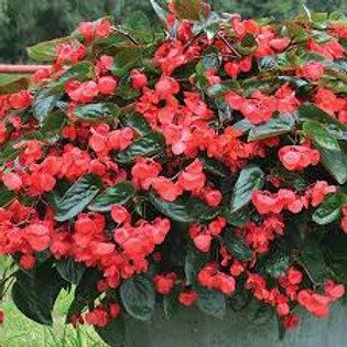 Begonia, Dragon Wing Red