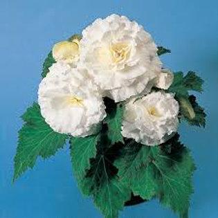 Begonia, Non-Stop White