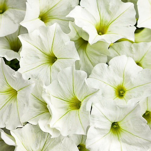 Petunia, Supertunia White