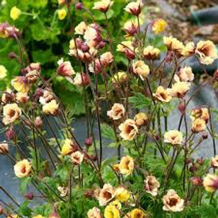 Geum, Tempo Yellow