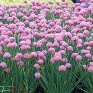 Allium, Rising Star Flowering Onion